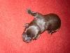 06-labrador-welpen-braun-bijan.jpg