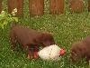 Das erbeutete Huhn
