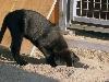 Labrador Welpen Niedersachsen