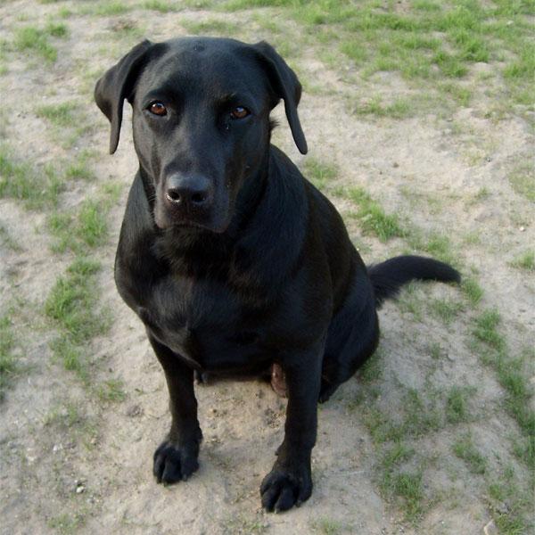 Der Labrador Rassebeschreibung