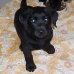 Labrador Zucht Roxy